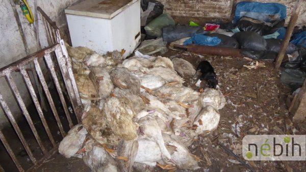 Kacsatetemekkel etették a sertéseket egy Bács-Kiskun megyei állattartó telepen