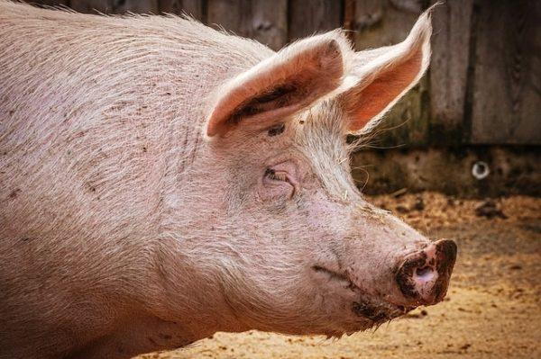2019-ben folytatódik a sertés állatjóléti támogatási program (Fotó: Pixabay, suju)