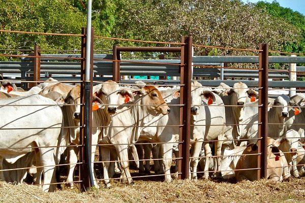 A szarvasmarha tömegmérése sokat elárul a takarmányozási igényeiről is