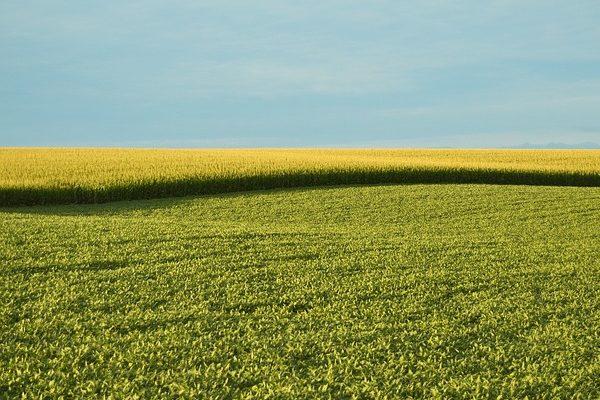 Az európai cégek azt szeretnék, hogy a GMO-szabályozás az unión kívülről érkező termékekre is vonatkozzanak az EU szigorú rendelkezései