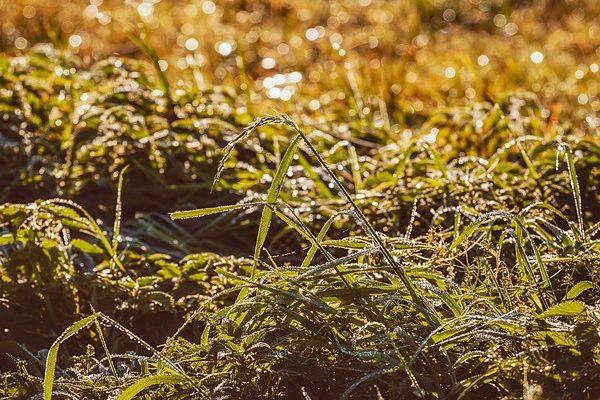 A rezisztens fenyércirok megkeserítheti a szántóföldi gazdálkodók életét - képünk illusztráció