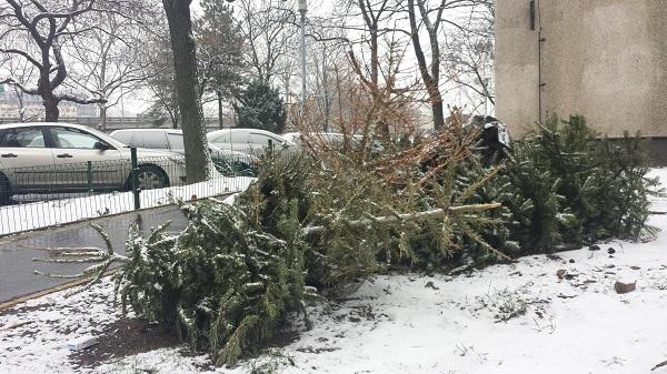 Ezek a 13. kerületi karácsonyfák így várják a sorsukat, tüzelőanyag lesz belőlük