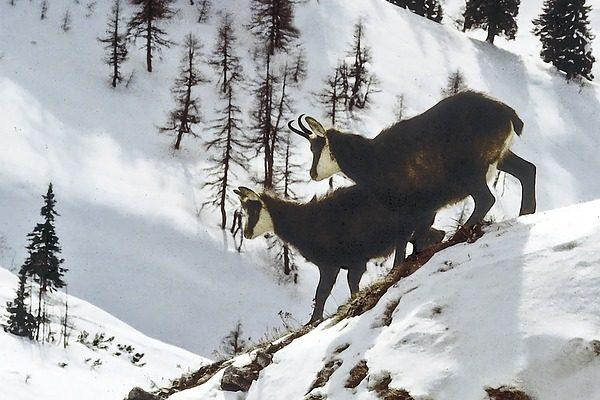 Egy osztrák zerge dolga sem mindig könnyű - a rendkívüli havazás a hegyi állatok életét is megnehezíti