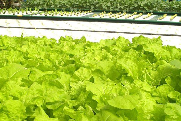A sivatagi növénytermesztés egyre fejlettebb: salátát és fűszernövényeket termesztenek a hidroponikus üvegházban