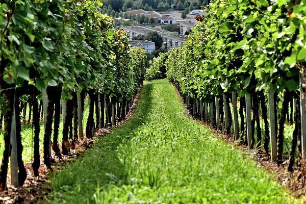 Azért is különösenfontos a talajápolás a szőlőben, mert évtizedekre meghatározhatja a bortermelés minőségét