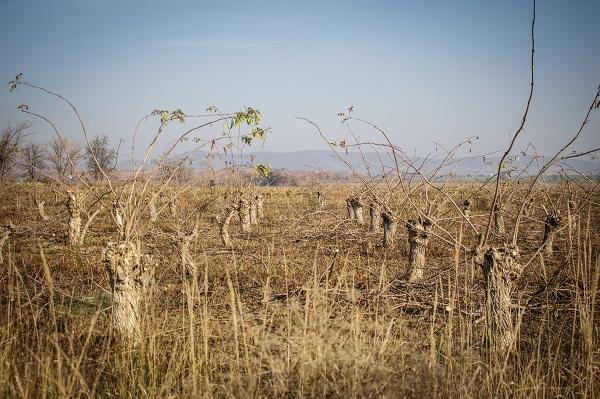 Merőben más az USA agrártámogatása,  mint az Európai Unió Közös Agrárpolitikája - képünk illusztráció, bodzaültetvény Olaszliszka közelében - Fotó: Adam's Photovision