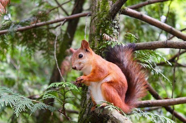 Az angolok a szürke mókusok megevésével támogatják a vörös mókusokat és a környezetvédelmet (Fotó: Pixabay, Pexels)