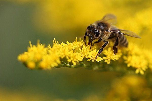 Améhek hangja édesebb nektár képzésére sarkallja a virágokat