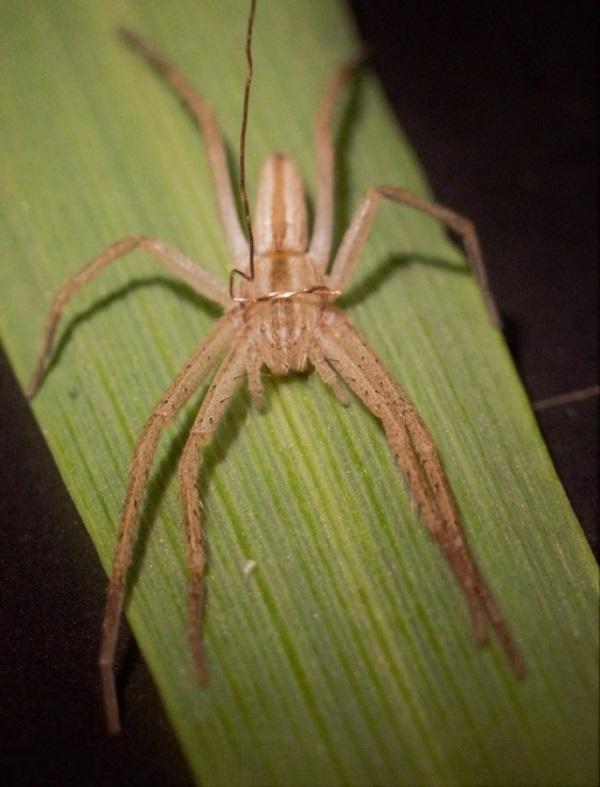 """A kísérletekhez mozgásában """"hámmal"""" korlátozott sovány karolópók, amely a kísérlet során a kabócával közös levélen volt. A 100 mikrométer vastag rézdrótból készült hám a pók mozgásterének szűkítéséhez szükséges, ezáltal nem képes a kabócát elérni Forrás: MTA ATK Növényvédelmi Intézet"""