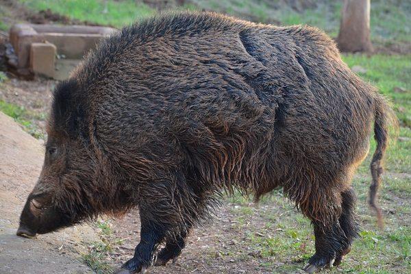 Rossz véget ért a vaddisznótámadás: a Szatmár megyei férfi csak megsebesítette az állatot, az pedig megtámadta őt, és halálos sebeket ejtett rajta - képünk illusztráció