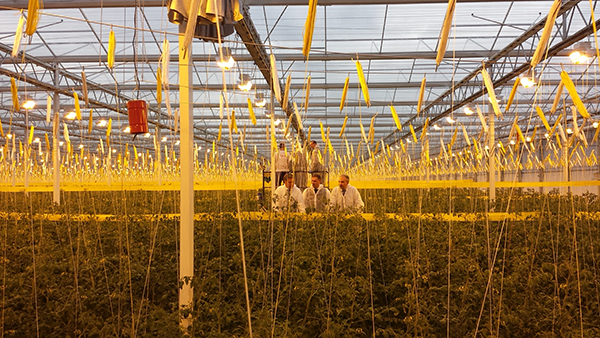 Több méter magasságban a számítógép vezérelt termesztésű paradicsomok Veresegyházon
