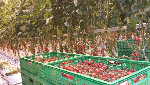 A 2018. decemberében aláírt együttműködési megállapodás célja a friss paradicsom termesztéstechnológiájának javítása és a jobb minőségű, valamint beltartalmú bogyók elérése.