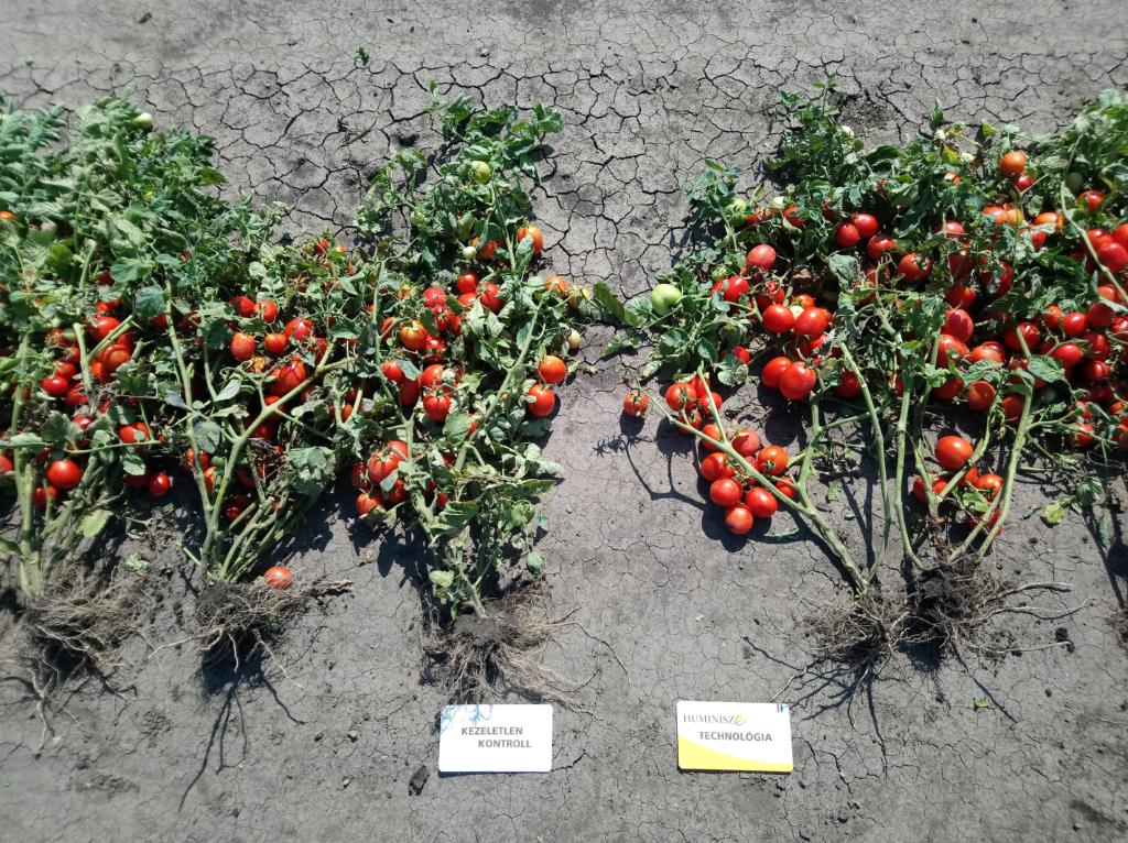 5. ábra. A szín különösen fontos a feldolgozásra szánt paradicsomok esetében, a termésnek egységes, erősen piros színűnek kell lennie (Kamut, 2018)
