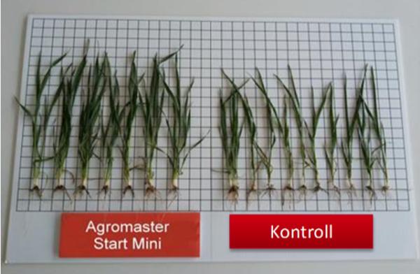 A különbség kezelt és kezeletlen talajon: az Agromaster használatával sokkal nagyobb gyökértömeg jön létre