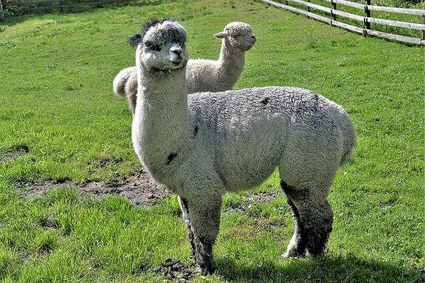 Egyre több a magyar alpaka: van, aki hobbiból, van, aki a gyapjújáért tartja
