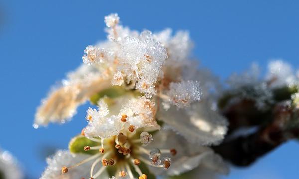 Nem mindegy, milyen a fagyvédelem a gyümölcsösökben - képünkön tavaszi fagykár szilván