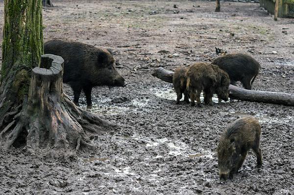 A Trichinella-fertőzöttség főleg a nem megfelelően kezelt nyers hússal terjedhet - ilyen lehet a vaddisznó húsa is
