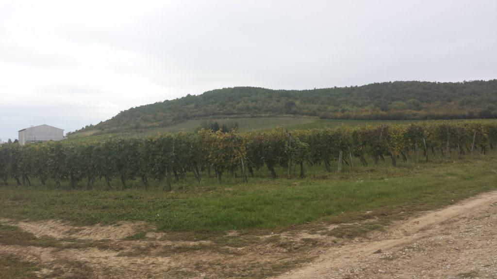 Segít a sorköztakarás a szőlő talajának megtartásában és a talajélet megőrzésében is - képünk Olaszliszkán, Tokaj-hegyalján készült