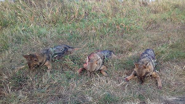 Ez a három aranysakál kan került terítékre tavaly ősszel szintén a Jászkisér közeli erdőkben