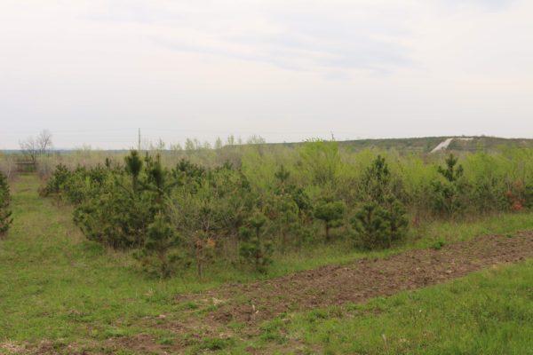 Az erdőtelepítés egy részlete, feketefenyő, szürkenyár és puszta szil fafajokkal - fotó: Bakonyerdő Zrt. - Gombási Mónika
