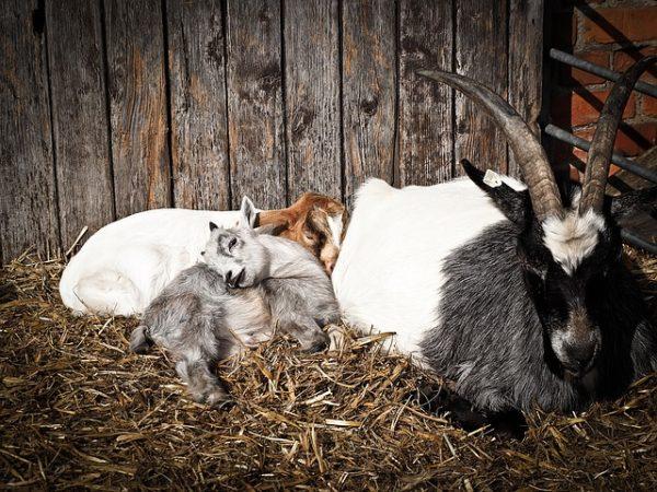Már csak néhány napig igényelhető a tenyészkos és -bak támogatás - képünkön kecskegidák és egy kecskebak
