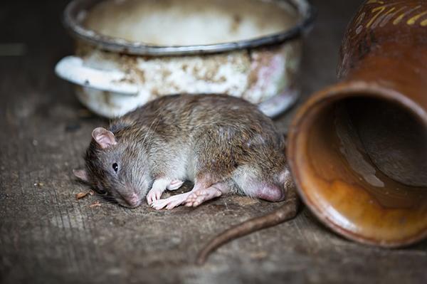 Retteghetnek az egerek és a patkányok? Lézerfegyverrel veszik fel a harcot a rágcsálók ellen