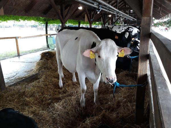 A szarvasmarhatartók is szigorúbb EU-s szabályokra számíthatnak néhány éven belül, amelyek az ammónia kibocsátás csökkentésére irányulnak - képünk az Alföldi Állattenyésztési és Mezőgazda Napokon készült