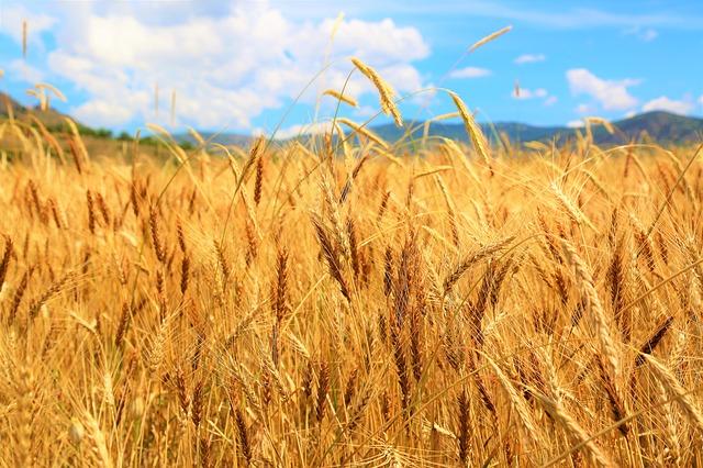 762 millió tonna búzát takaríthatnak be a világon a 2019/2020. gazdasági évben (Fotó: Pixabay, Konevi)