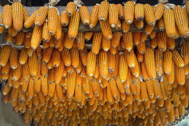 A mostani hideg után milyen lesz vajon az idei kukoricatermés (Fotó: Pixabay, Quangpraha)