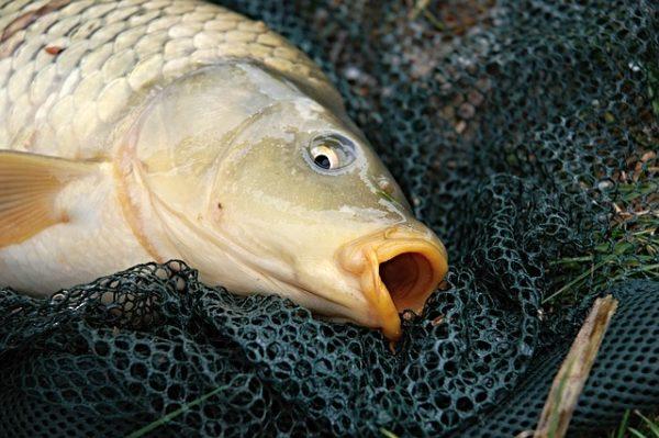 A hatóság százezer forint összegű halvédelmi bírsággal sújtott egy horgászt (Fotó: Pixabay, zdenet)