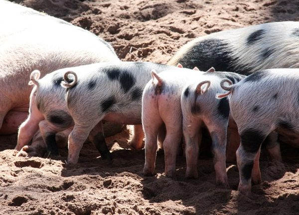 A farokkurtítás elhagyására ösztönzik a szabályok júliustól a német sertéstartókat