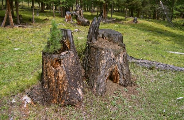 A hírek szerint gyors ütemben vágják ki a szibériai tajga erdőit - képünk illusztráció