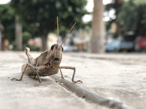 Óriási mennyiségű rovartakarmány szükséges ahhoz, hogy kiváltsa a szójadarát és a hallisztet az állati takarmányozásban