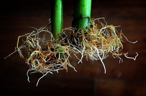 A cink nélkülözhetetlen a növények enzimaktiváló folyamatainál