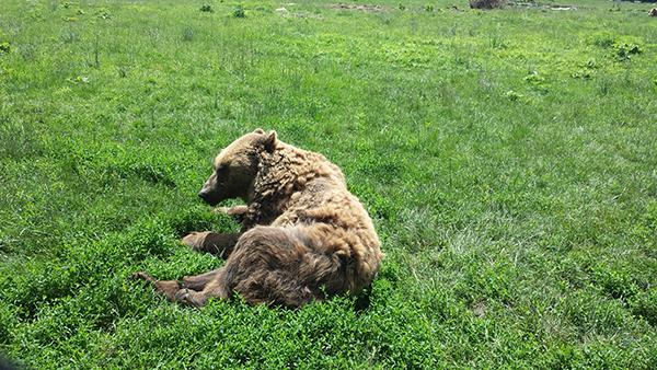 Fokozódik a ragadozóveszély Szlovéniában: egy idős hölgy könnyebb sérüléseket szenvedett egy medvetámadás következtében