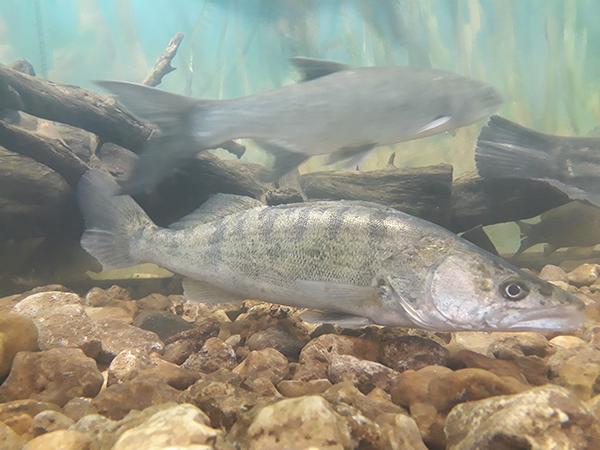 A magyar akvakultúra fejlesztését is szolgálja a támogatási intenzitás 10 százalékos növekedése