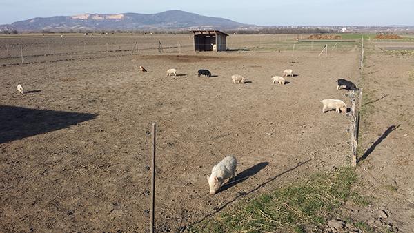 Összesen 2 milliárd forintnyi általános, csekély összegű támogatás igényelhető a sertés- és baromfitartók számára