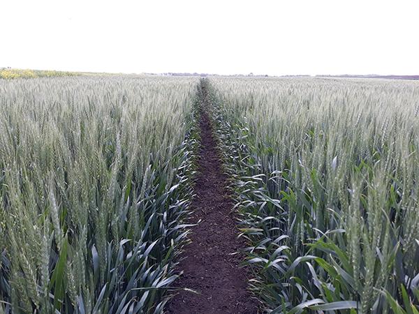 16 százalékkal lehet több a lengyel gabona mennyisége idén, mint a tavalyi, aszályos szezon végén - képünk illusztráció
