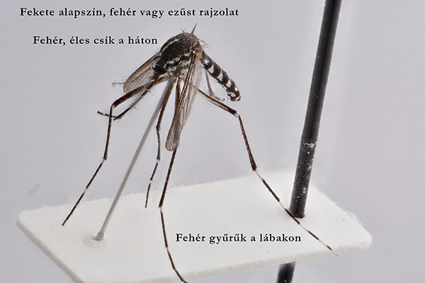 Így néz ki az ázsiai tigrisszúnyog - fotó: MTA Ökológiai Kutatóközpont