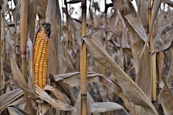 A kukorica esetében az öntözés drasztikusan javítja az adaptáció eredményét (Fotó: Pixabay, JerzyGorecki)