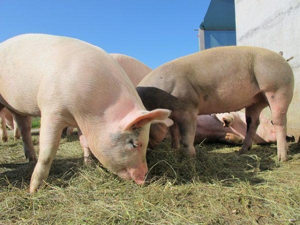 A sertéshús iránti kereslet megnöveli az exportlehetőségeket a hazai gazdák előtt (Fotó: Pixabay, Mutinka)