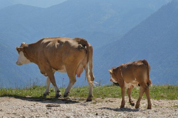 Megmenekülhet a levágástól egy, Lengyelországban gazdátlanul kóborló tehéncsorda (Fotó: Pixabay, Elsemargriet, illusztráció)