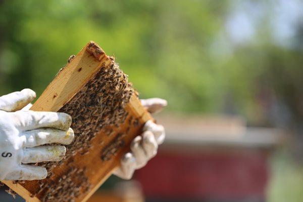 Fejlett a magyar méhvédelem, az Országos Magyar Méhészeti Egyesület és a Nemzeti Élelmiszerlánc-biztonsági Hivatal közösen lép fel az előírások betartásáért