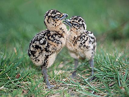 Túzokcsibék egymás mellett - fotó: www.grosstrappe.at