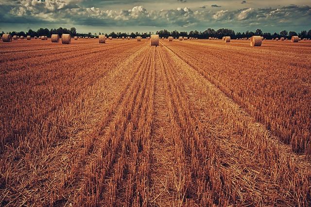 777 millió tonnás rekorderedményt hozhat az idei búzapiac a Debreceni Egyetem szakértői szerint