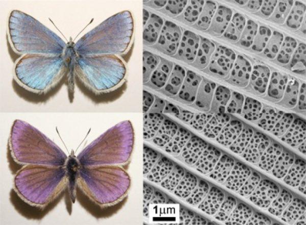 Mezei boglárka (Polyommatus dorylas) (fent) és ibolyaszín boglárka (Polyommatus thersites) (lent) hímek fényképe (bal oszlop) és a kék színt adó pikkelyek felszínéről készült elektronmikroszkópos felvételek (jobb oszlop) Forrás: MTA EK MFA