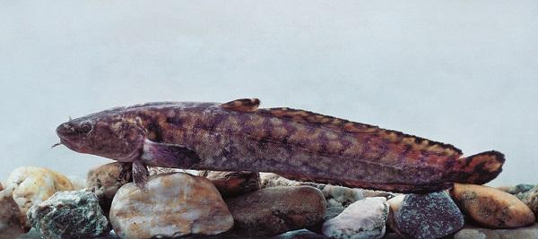 Ehhez hasonló menyhal akadt horogra több évtized után a Balatonban - Fotó: dr. Harka Ákos, a Magyar Haltani Társaság elnöke