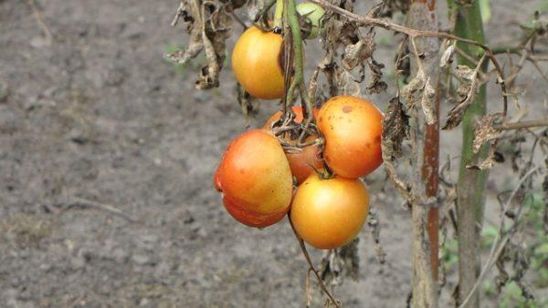 Az új szükséghelyzeti engedélyek segítenek a zöldségtermesztőknek megvédeni a termést - képünkön paradicsom, illusztráció
