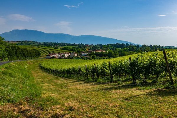 A prosecco gyártása miatt tönkre megy a szőlők alatti talaj, ezért oda kell figyelni a sorközművelésre - a kép az olaszországi Veneto régióban készült a finom ital alapjául szolgáló lankákon