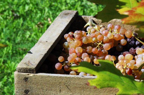 A termelői csoportok számára a szőlőültetvényekben végzett zöldszüretre, a 22/2019 (V.31.) AM rendelet alapján igénybe vett támogatás is az árbevétel részét képezi